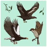 Birds fly in the air. sparrow and feather, eagle and falcon. engraved hand drawn in old sketch, vintage style for label. Nest with eggs. animals flutter their Royalty Free Stock Photography