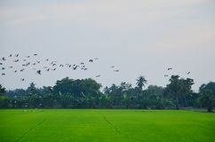 Birds fly back to the nest on Paddy or Rice field at Nonthaburi, Thailand Stock Photo
