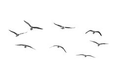 Birds fly on clear sky (b&w) Royalty Free Stock Image