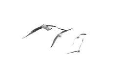 Birds fly on clear sky (b&w) Stock Photos