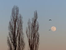 Birds fly next to the tall trees and full moon Royalty Free Stock Photography