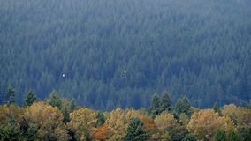 Birds Fly Over Colorful Tree Range In The Fall stock footage