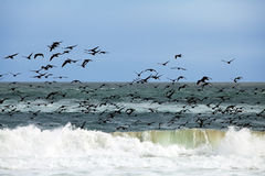 Birds fly over the waves. Of the ocean Stock Photography
