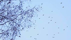 Birds fly in the sky against the background of bare autumn branches of trees stock video footage
