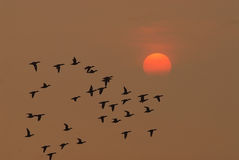 Birds fly at sunrise Stock Images