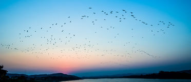 Birds fly Sunset. A flock of birds fly on river Sunset silhouette Royalty Free Stock Image