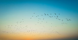 Birds fly Sunset. A flock of birds fly on river Sunset silhouette Royalty Free Stock Photos