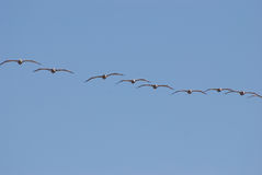 Birds flying. Fying birds on a blue sky background Stock Photography