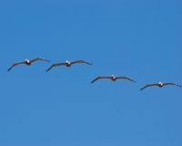 Birds flying. Fying birds on a blue sky background Royalty Free Stock Photo