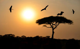 Birds flying above acacia tree at sunset in Africa Royalty Free Stock Image