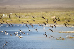 Birds flying above the lake Royalty Free Stock Photo