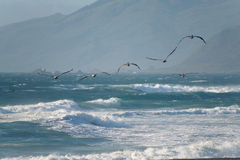Birds flying above the waves Royalty Free Stock Image