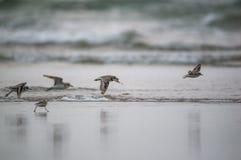 Birds flying across the beach. Flock of plover birds flying across the beach Royalty Free Stock Photos