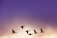 Birds flying against evening sunset in the background Royalty Free Stock Images