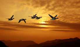 Birds flying against evening sunset in the background Stock Photo