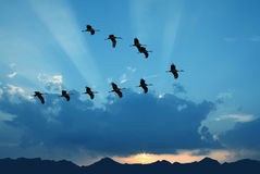 Birds flying against evening sunset in the background Royalty Free Stock Image