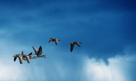 Birds flying against rainy sky in the background Royalty Free Stock Images