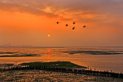 Birds flying. Flying birds in alignment, in formation, at sunset Stock Images