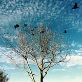 Birds flying around a Tree with Blue Skies. Black Birds sitting in a bare tree during the spring as well as flying around the tree with blue skies and clouds royalty free stock image
