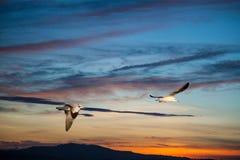 Birds flying back home Stock Image