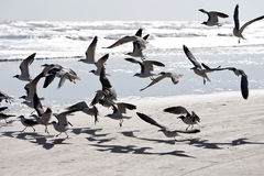 Birds flying at the beach Stock Image