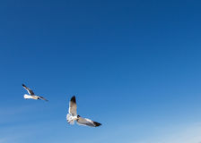 Birds flying in blue sky Royalty Free Stock Photography