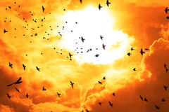 Birds flying into a bright orange sunset. Flocks of birds flying into a bright orange sunset sky Royalty Free Stock Image