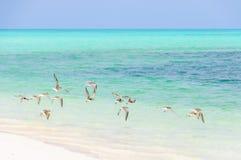 Birds flying in Cayo Levisa Island in Cuba Royalty Free Stock Photography