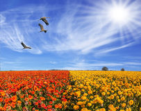 The birds flying in cirrus clouds. The southern sun illuminates the flower fields of red buttercups. Three large birds flying high in the cirrus clouds. The Stock Image