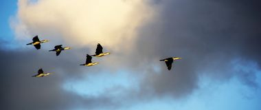 Birds Flying in Formation. A group of Pied Cormorant birds flying in formation against a dramatic sky royalty free stock image