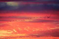 Birds flying in formation at Sunset Royalty Free Stock Images