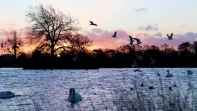 Birds in front of a rich sun rise. Birds flying in front of a very rich sun rise at dawn stock video footage