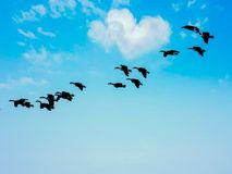 Birds Flying Through Heart Shaped Cloud In The Sky. Flock of geese birds flying through heart shaped clouds in the blue sky during the day stock photos