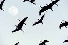 Birds Flying Moon Silhouette Royalty Free Stock Images