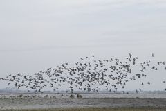 Birds flying near the lake. Birds flying near the frozen bank of a lake in the winter Stock Photos
