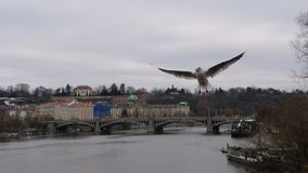 Free wild birds flying on the sky. Birds flying over the city of Prague royalty free stock photography