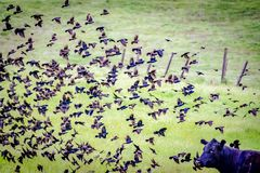 Birds Flying Over Cow Central California. This image was taken in Central California during Spring 2018 stock photography