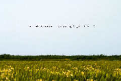 Birds flying over Danube delta Royalty Free Stock Images