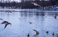 Birds flying over a lake Royalty Free Stock Photography