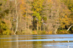 Birds flying over lake nature scene. Small group of birds flying over calm lake with trees in background during the autumn season Royalty Free Stock Images