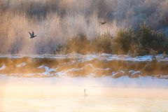 Birds flying over lake at sunrise. Swan swimming in winter royalty free stock photos