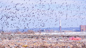 Birds flying over the landfill. 4K. Innumerable birds are flying over the landfill. The seat down looking for food stock footage