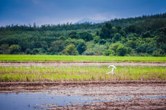 Birds flying over padi field Royalty Free Stock Photo