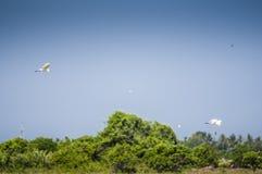 Birds flying over padi field Royalty Free Stock Photos