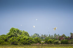 Birds flying over padi field Stock Images