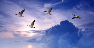 Birds flying over purple sky panoramic view Royalty Free Stock Photos