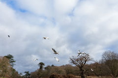 Birds flying over a river. In a local park in winter Stock Images
