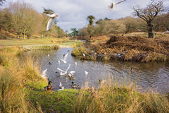 Birds flying over a river. In a local park in winter Royalty Free Stock Images