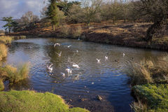 Birds flying over a river. In a local park in winter Royalty Free Stock Photography