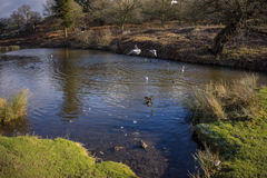 Birds flying over a river. In a local park in winter Stock Photos